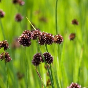 Juncus ensifolius (Moerings Waterplanten)