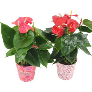 Anthurium FLAMINGO MIX