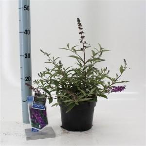 Buddleja FREE PETITE DARK PINK (About Plants Zundert BV)