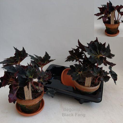 Begonia 'Black Fang' (Hofstede Hovaria)