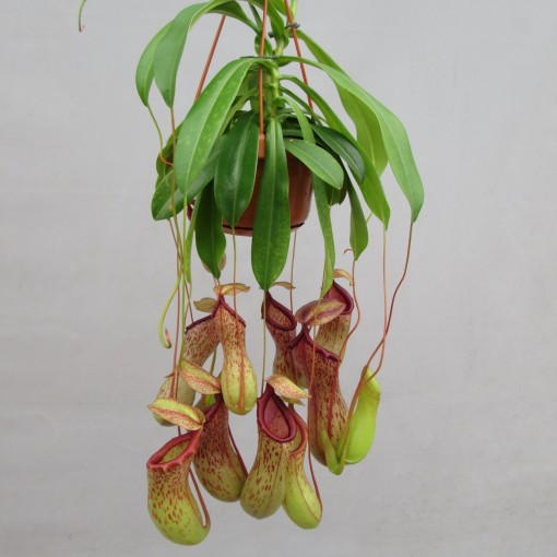 Nepenthes '669' (JM plants)