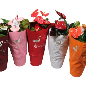 Anthurium FLAMINGO MIX (Flamingo Plant)