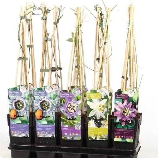 Passiflora MIX (Hoogeveen Plants)