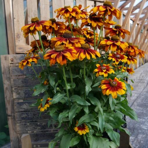 Rudbeckia 'Garden SmileyZ' (FlevoFlora)