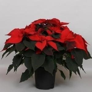 Euphorbia pulcherrima CHRISTMAS FEELINGS