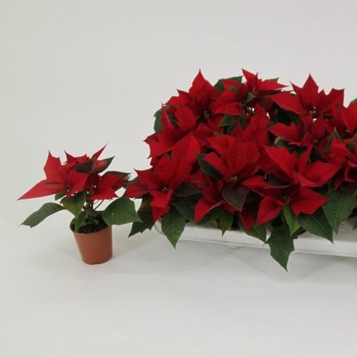 Euphorbia pulcherrima BLISSFUL RED (Valk bv, van der)
