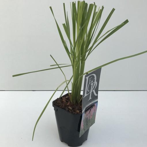 Cortaderia selloana 'Rosea' (Cammeraat Potcultuur)