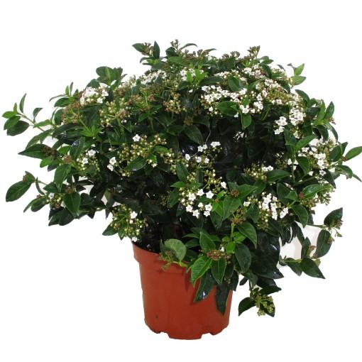 Viburnum tinus (Luiten kwekerij)