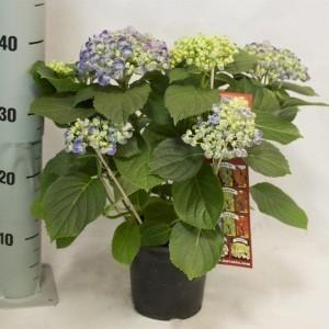 Hydrangea macrophylla HOVARIA HOPCORN