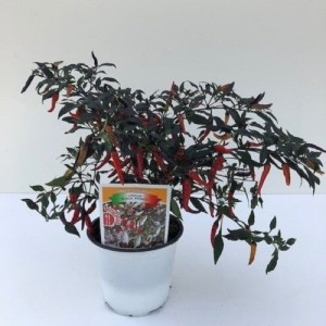Capsicum annuum 'Black Prince' (Green Collect Sales)