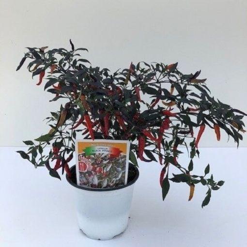 Capsicum annuum 'Black Prince' (Green Collect Sales)