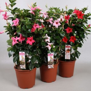 Mandevilla MIX