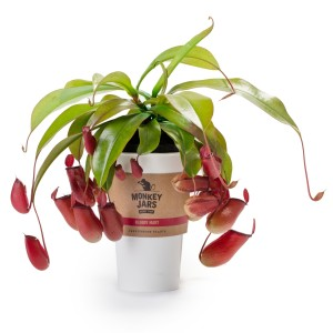 Nepenthes 'Bloody Mary' (JM plants)
