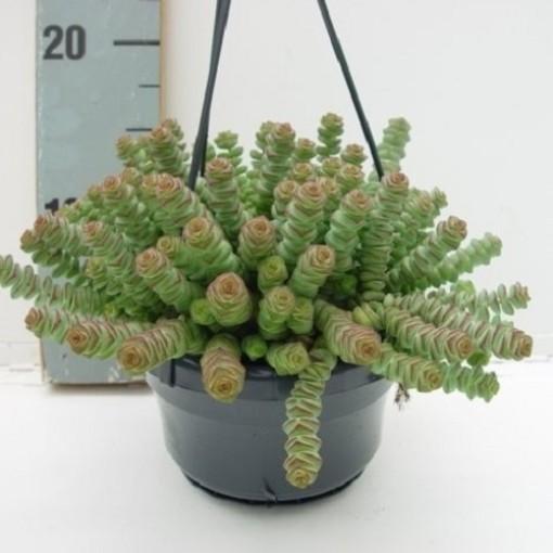 Crassula marnieriana 'Hottentot' (van der Hoorn Succulenten)
