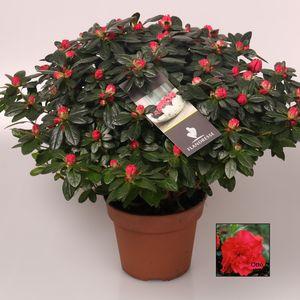 Rhododendron 'Otto' (De Bruyne - Flandresse)
