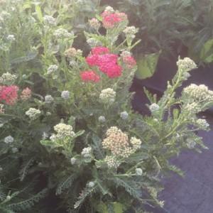 Achillea millefolium NEW VINTAGE RED