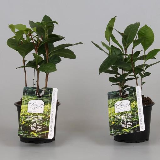 Camellia sinensis (Groot BV, Kwekerij J. de )