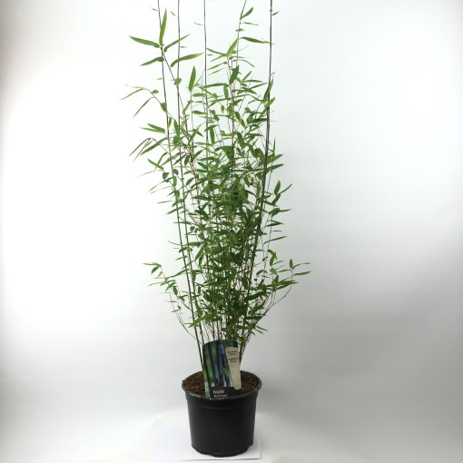 Fargesia 'Black Dragon' (Oprins Plant)