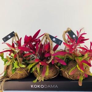 Rhipsalis ramulosa 'Red Coral' (Kokodama)