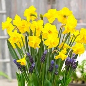 Narcissus 'Lucky Number' (Komen, Kwekerij MJ )