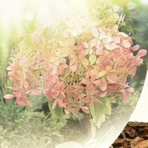Hydrangea paniculata 'Phantom' (Dool Botanic)
