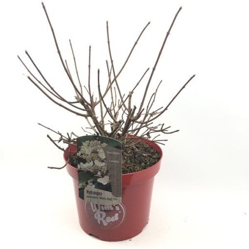 Hydrangea paniculata 'Wim's Red' (Oprins Plant)