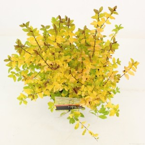 Ligustrum ovalifolium 'Lemon and Lime' (Snepvangers Tuinplanten BV)