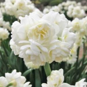 Narcissus 'Erlicheer' (Vossen B.V. , J.H van der )