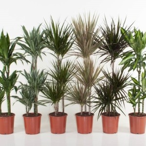 Dracaena MIX (Ammerlaan, The Green Innovater)