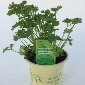 Petroselinum crispum (Green Collect Sales)