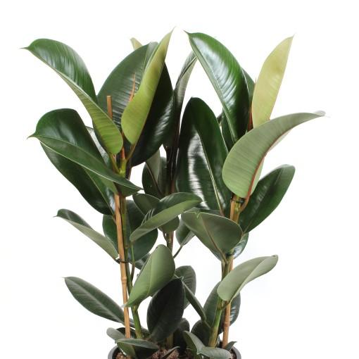 Ficus elastica 'Robusta' (Schenkel, Kwekerij de)