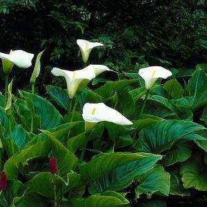 Zantedeschia aethiopica (van der Velde Waterplanten BV)