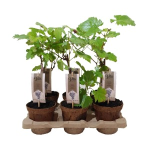 Vitis 'Nordica' (BOGREEN Outdoor Plants)
