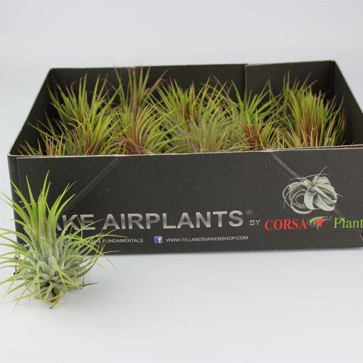 Tillandsia ionantha (Corsa plant)