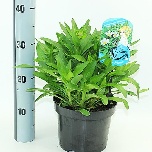 Leucanthemum MIX (Experts in Green)