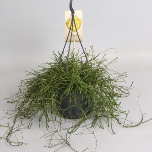 Hoya retusa (Handelskwekerij van der Velden)