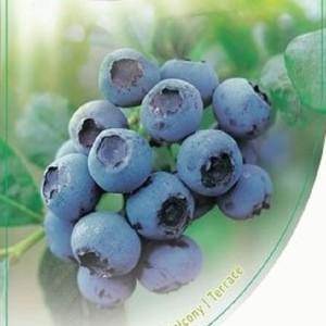 Vaccinium corymbosum 'Bluecrop' (Dool Botanic)