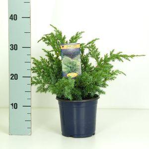 Juniperus squamata 'Blue Swede' (Kwekerij Vredebest)