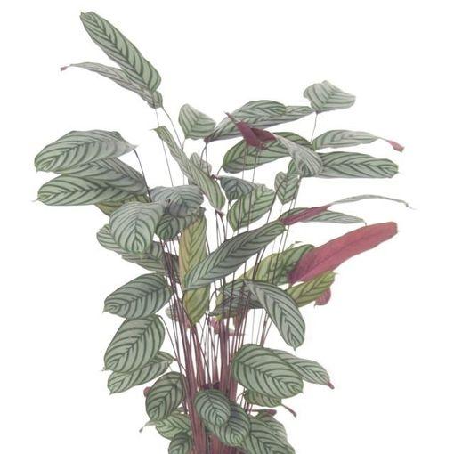 Ctenanthe oppenheimiana (Ammerlaan, The Green Innovater)