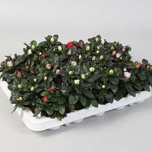 Rhododendron AZALEA MIX (FlorAmor)