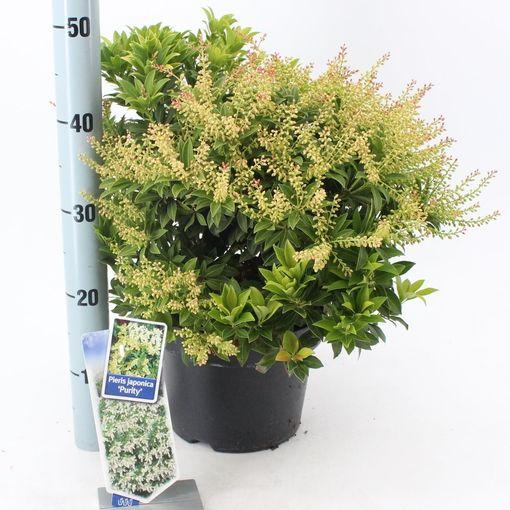 Pieris japonica 'Purity' (About Plants Zundert BV)