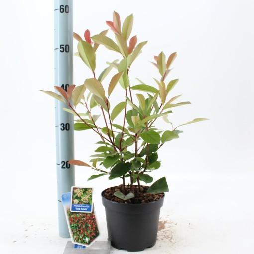 Photinia x fraseri 'Red Robin' (About Plants Zundert BV)