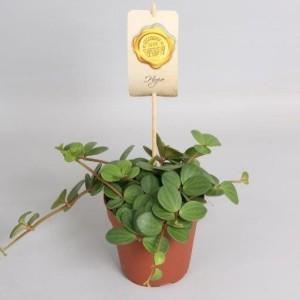 Peperomia tetraphylla 'Hope' (Handelskwekerij van der Velden)