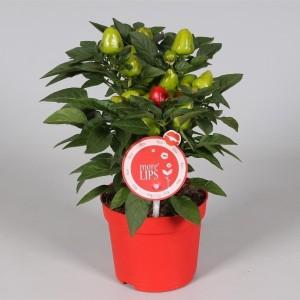 Capsicum annuum 'Samba Red' (Adrichem Potplanten)