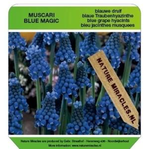 Muscari 'Blue Magic' (Gebr. Straathof)