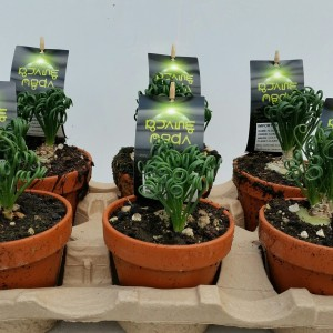 Albuca spiralis (Experts in Green)