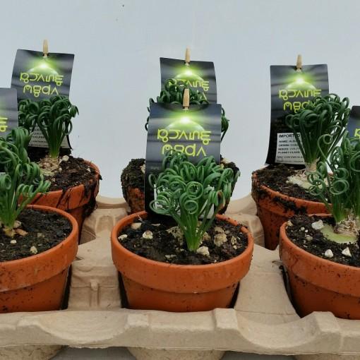 Albuca spiralis (Experts in Green)