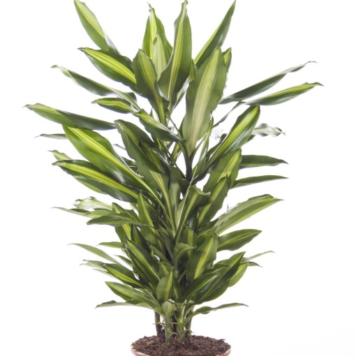 Dracaena fragrans CINTHO (Ammerlaan, The Green Innovater)