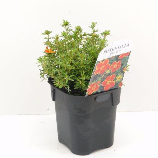 Potentilla fruticosa 'Red Ace' (Hooftman boomkwekerij)