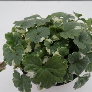 Glechoma hederacea 'Dappled Light' (Experts in Green)